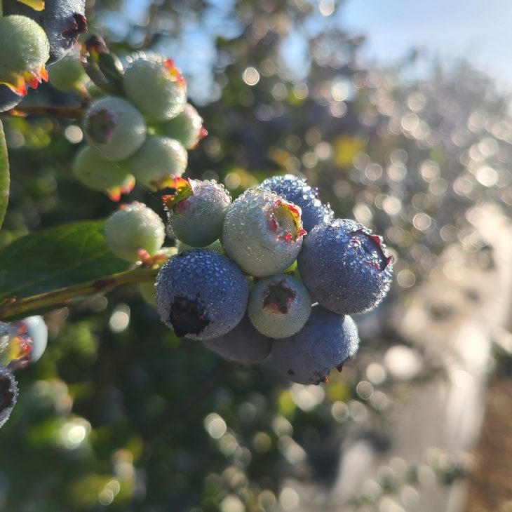 Always Fresh Farms - Picking Berries